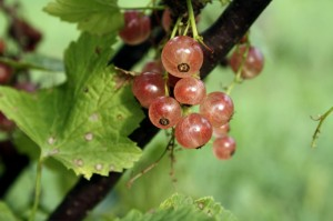 Pink champagne currant on bush
