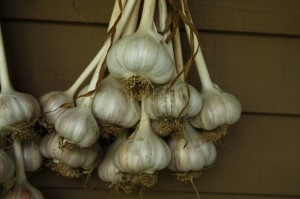 Dried garlic bulbs hanging on a wall