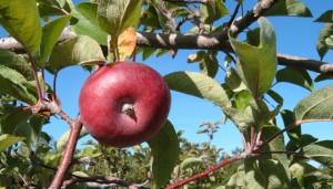 Apple fruit in tree