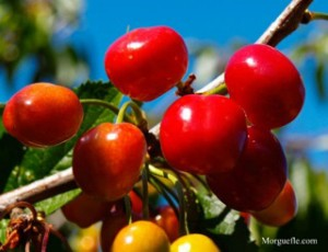 Cherry fruits on the tree