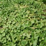 Sweet potato vines growing on the ground