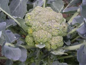 Head of boroccoli in the garden