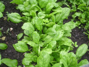 Spinach plants in the garden