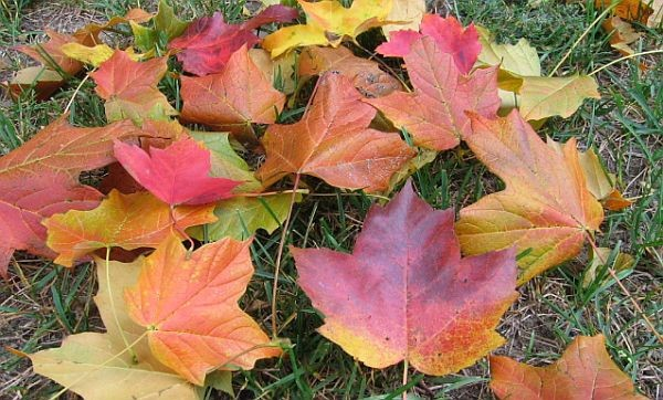 Autumn leaves on a lawn