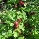 Red gooseberries on bush