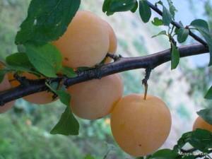 Yellow plum on tree