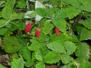 Red alpine strawberries on the plant