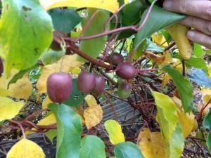 Ed kiwi fruit