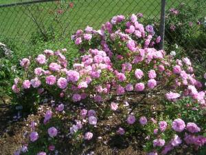 shrubrose