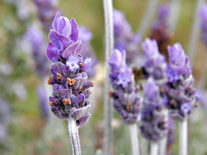 lavendar_flower02