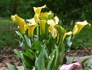 grow calla lily